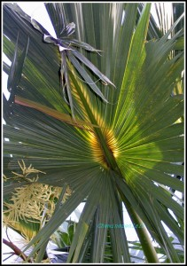 Palmes C 138